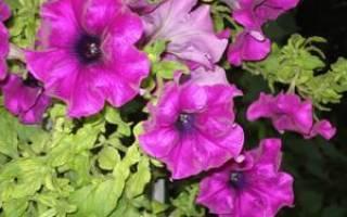 Особенности выращивания рассады петунии из семян и черенками