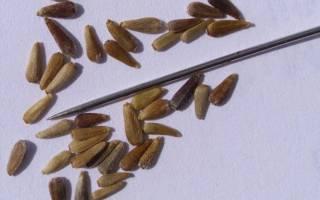 Астра помпонная выращивание из семян когда сажать