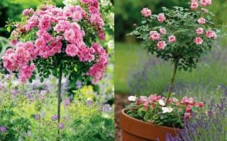 Разновидности подвоев штамбовых роз