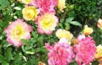 Роза беби маскарад