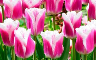 Сорт тюльпана блу херон blue heron