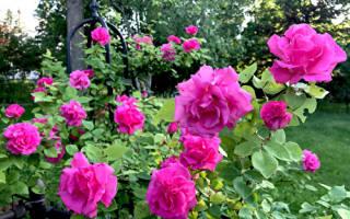 Роза zephirine drouhin