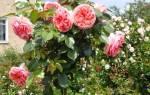 Прививка розы на шиповник осенью, начале зимы