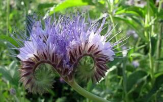 Садовые цветы медоносы