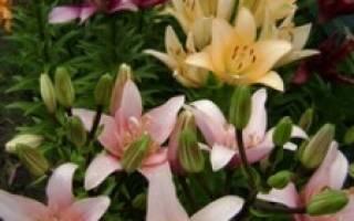 Зимостойкие сорта лилий