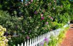 Виды гибискуса садового