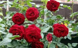 Уход за парковыми розами осенью