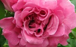 Роза аньес шиллижер