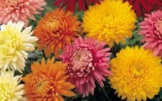 Какое растение цветет до поздней осени