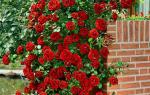 Сорта вьющихся роз с фото и названиями
