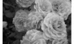 Розы флорибунда сорта, фото и описание декоративных качеств