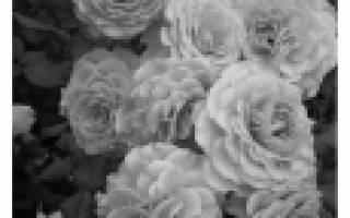 Сорта роз флорибунда с фото и названиями