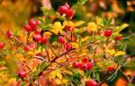 Шиповник из семейства розоцветных