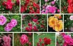 Самые известные сорта канадских плетистых роз