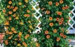 Однолетние лианы цветущие